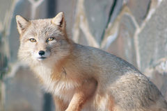 Young corsac fox looks into the camera. Royalty Free Stock Photos
