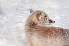 Young corsac fox is lying on white snow. Animals in wildlife. royalty free stock photography
