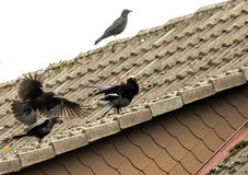 Young corvids. On the roof top Stock Photography