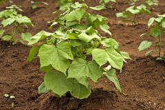 Young Cotton Plants Stock Photo