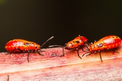 Young cotton stainer bug Royalty Free Stock Photo