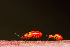 Young cotton stainer bug Stock Photo