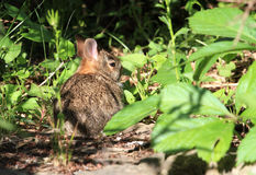 Young Cotton-tail Rabbit Stock Photos