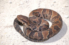 Young Cottonmouth Ready to Strike! Stock Image