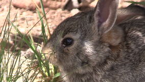 Young Cottontail Close Up stock video footage