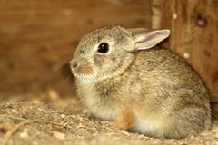 Young cottontail rabbit Stock Photos