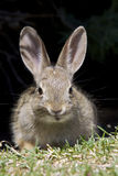 Young Cottontail Rabbit Stock Images