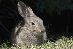 Young Cottontail Rabbit. A cute young cottontail rabbit resting in grass with dark background Stock Photo
