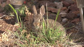 Young Cottontail Rabbit stock video