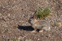 Young Cottontail Rabbit. A cute young cottontail rabbit Stock Photo