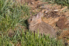 Young Cottontail Rabbit in Grass Royalty Free Stock Photo