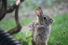 Young Cottontail Rabbit. In an Iowa yard Stock Photo