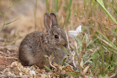 Young Cottontail Rabbit. A young cottontail rabbit resting Royalty Free Stock Photography