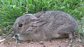 Young Cottontail Rabbit Zoom In stock footage