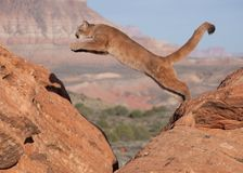 A young cougar jumping from one red sandstone boulder to another with a southwestern desert and mesa in the background. A young cougar jumping from one red stock photography
