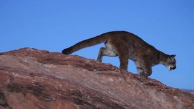 A young cougar jumps from the top of one boulder to another