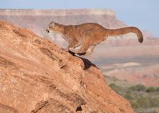 A young cougar landing on a red sandstone boulder after a jumping from the right of the camera with the southwest desert and mesa stock images