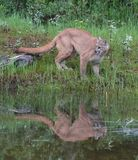 Young Cougar or Mountain Lion royalty free stock photo