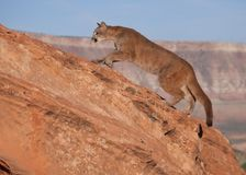 A young cougar moving up a red sandstone ledge with a southwestern mesa in the background. A young cougar moving up a red sandstone ledge with a southwestern Stock Images