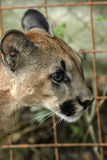 Young cougar Royalty Free Stock Image