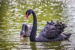 Black swan on water Cygnus atratus II. royalty free stock image
