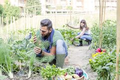 Young couple collects vegetables in the garden. Young couple collects ripe and frash vegetables in the garden outdoors Stock Image
