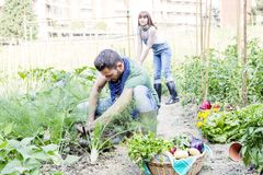 Young couple collects vegetables in the garden. Young couple collects ripe and frash vegetables in the garden outdoors Royalty Free Stock Images