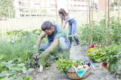 Young couple collects vegetables in the garden. Young couple collects ripe and frash vegetables in the garden outdoors Royalty Free Stock Photos