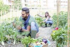 Young couple collects vegetables in the garden. Young couple collects ripe and frash vegetables in the garden outdoors Royalty Free Stock Image