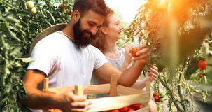 Young couple of farmers working in greenhouse Royalty Free Stock Image