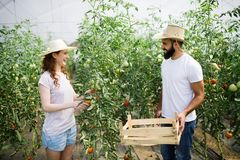 Young couple of farmers working in greenhouse. Young happy couple of farmers working in greenhouse Stock Photo