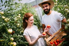 Young couple of farmers working in greenhouse. Young happy couple of farmers working in greenhouse Royalty Free Stock Photography