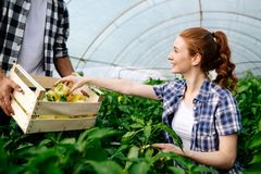 Young couple of farmers working in greenhouse. Young happy couple of farmers working in greenhouse Royalty Free Stock Photos