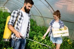 Young couple of farmers working in greenhouse. Young happy couple of farmers working in greenhouse Royalty Free Stock Images