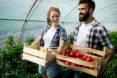 Young couple of farmers working in greenhouse. Young happy couple of farmers working in greenhouse Royalty Free Stock Image