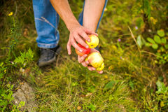 Young couple harvests of apples Royalty Free Stock Photo