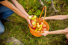 Young couple harvests of apples Stock Images