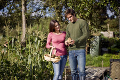 A young couple holding a trug full of potatoes on an allotment Stock Images