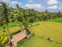 Young couple of man and woman on a rice field, Bali vacation concept. Indonesia. Young couple of men and women on a rice field, Bali vacation concept royalty free stock images
