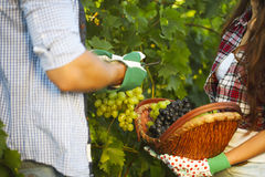 Young couple on picking grapes in the vineyard Stock Images
