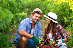 Young couple on picking grapes in the vineyard Royalty Free Stock Photo