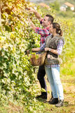 Young couple picking grapes in vineyard Royalty Free Stock Images