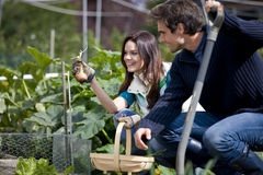 A young couple pulling up onions on an allotment Stock Photos