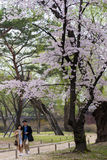 Young couple stroll under big cherry flower tree. Royalty Free Stock Photos