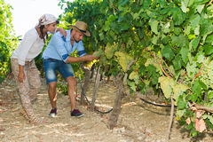 Young couple, vine growers, in the vineyard. Royalty Free Stock Images