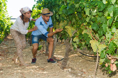 Young couple, vine growers, in the vineyard. Stock Photography
