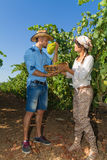 Young couple, vine growers, in the vineyard. Stock Photos