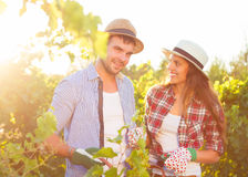 Young couple in vineyard during harvest season Royalty Free Stock Image
