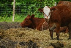 Young cow Royalty Free Stock Images