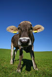 Young cow Stock Photography